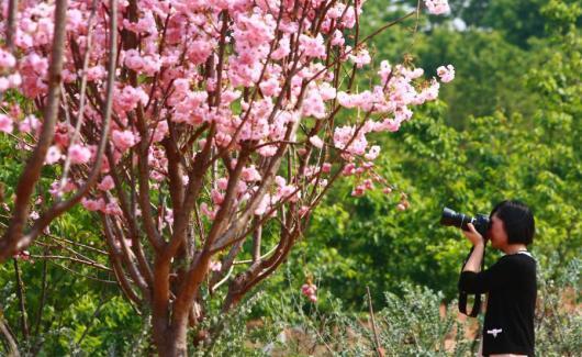 廣州櫻花2014 廣州櫻花 廣州櫻花攻略 廣州哪裡有櫻花 广州赏樱花 2014廣州櫻花