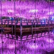 東京羊山公園賞芝櫻+足利花園公園紫藤燈光秀一日遊